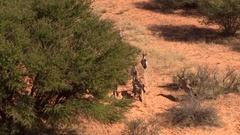 Gemsbuck herd running, ariel view Stock Footage