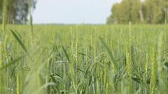 Green wheat field scene Stock Footage