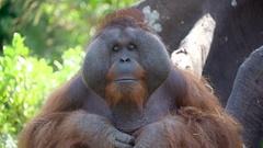 A big male Orangutan sitting solemnly in Ireland Stock Footage
