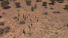 Herd of Sable running, ariel view Stock Footage