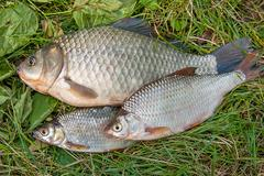 Pile of the common bream fish, crucian fish, roach fish, bleak fish on the .. Stock Photos