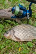 One crucian fish on green grass. Catching freshwater fish and fishing rod w.. Stock Photos
