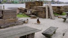 Chickens Eat Food In UNESCO World Heritage Site In Kinderdijk, Netherlands Stock Footage