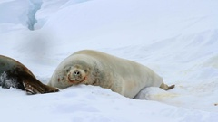 Male crabeater seal which lies on the Straits of ice in Antarctica Stock Footage