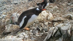 Female Gentoo penguin near the nest in which two newly hatched chicks Stock Footage