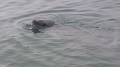 Leopard seal floating along the shore in the waters of Antarctica Stock Footage