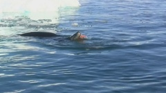 Leopard seal who eats Gentoo penguin in the water near a small iceberg Stock Footage