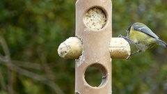 Blue Tits On Suet Log Feeder Stock Footage