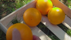 Hand puts ripe oranges in a wooden box Stock Footage