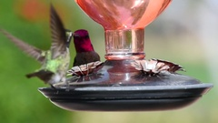 Male and female hummingbird interacting at a feeder Stock Footage