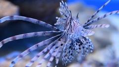 Red lionfish in aquarium Stock Footage