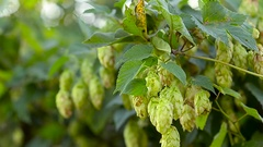 Fruit hops are hanging in green foliage to sway wind Stock Footage