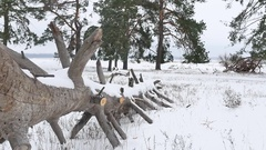 Trees forest christmas nature tree, snow frost cold the winter landscape Stock Footage