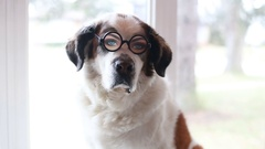 Saint Bernard dog in funny glasses, video Stock Footage