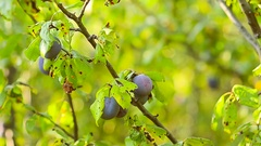 Harvest of plums in the autumn garden, with plums branch sways in wind against Stock Footage