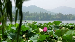 Beautiful pond of lotus flowers West Lake, Hangzhou, China, with mountains Stock Footage