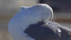 A white seagull with webbed toes rests near the Pacific Ocean. Stock Footage