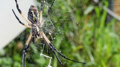 Macro shot of a Large Signature Spider Sitting in the Center of her Web Stock Footage