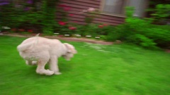 Funny dog running grass. White poodle running away. Happy dog jumping on grass Stock Footage
