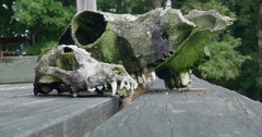 Two Mossy Animal Skulls Sit on a Wooden Porch Stock Footage