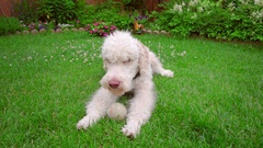 Labradoodle lying down at green lawn. Dog licking lips. White dog on grass Stock Footage