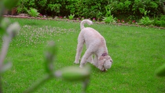 White Labradoodle sniffing. Dog sniffing green grass. Dog looking down Stock Footage