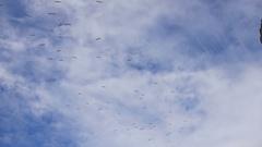 4k Flock Of Birds Flying Blue Sky Wispy Clouds Background Stock Footage