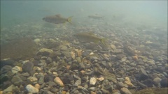 Mahseer Barb fish at waterfall in Chanthaburi, Thailand Stock Footage