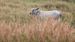 Cow and Pennisetum pedicellarum weed plant flower in Wide field Stock Footage