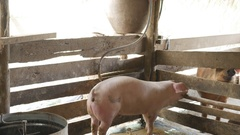 Pigs eating out of a basin while wading into mud puddles inside a pen Stock Footage