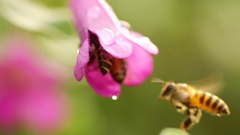 Honeybee on pink flower, Slow motion Stock Footage