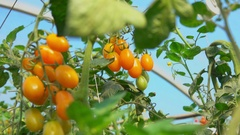 Yellow cherry tomatoes growing on the bush Stock Footage