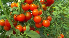 Ripe cherry tomatoes hanging on a branch Stock Footage