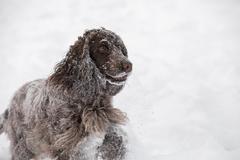 English cocker spaniel dog playing in snow winter Stock Photos