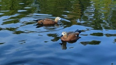 Ruddy shelducks swimming in pond Stock Footage
