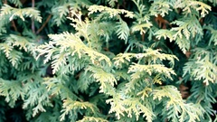 Green thuja branches stirred by breeze Stock Footage