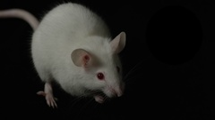 Albino mouse cleaning herself on black background Stock Footage