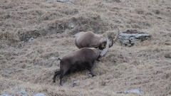 Two alpine ibexes fighting and move out of the frame Stock Footage