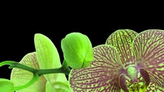 Time-lapse of opening Phalaenopsis KV Charmer orchid in RGB + ALPHA matte format Stock Footage
