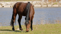 Horse grazing on a meadow near a river. Farm animals Stock Footage