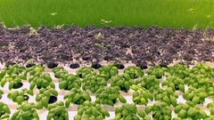 Aerial - Cultivating different types of herbs in a greenhouse Stock Footage