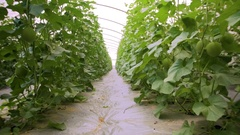 Greenhouse range for growing seeds melon and watermelon. Stock Footage