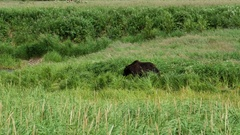 Brown bear walking in a green field. Kamchatka Stock Footage