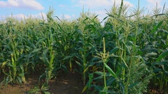 Corn growing the field Stock Footage