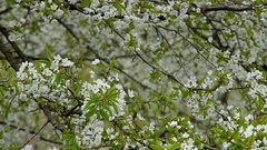 Blossoming cherry tree Stock Footage