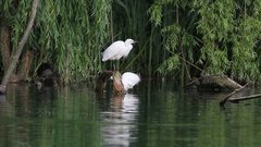 Egret in the lake of Rieti Reserve in Italy Stock Footage