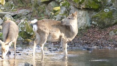 Deer and the famous and historical TodaiJi in Nara Park Stock Footage