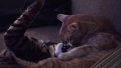 Cats grooming and playing biting each other interior 4K Stock Footage