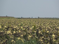 Sunflower  agriculture industry field  Stock Footage