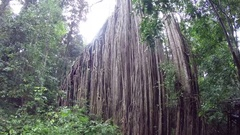 Huge curtain fig tree in Queensland Stock Footage